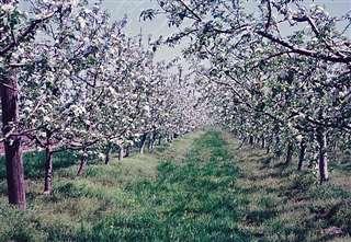 矮化栽培のリンゴ園=平成11年、増田町