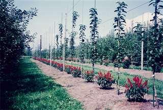 水田を転換したリンゴ園。木々の間には花を植栽=昭和60年ごろ