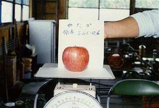 「ふじ」の突然変異種「やたか」の重さを計量=昭和61年