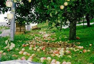 台風19号で落ちたリンゴ=平成3年秋