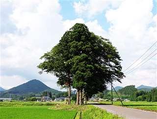 大館市粕田の県道沿いに立つ地域のシンボル的な杉(手前)とケヤキ(奥)の大木