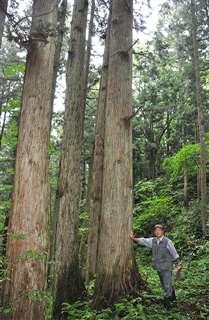 樹齢が100年を超える秋田杉の大木と=秋田下浜羽川、現在