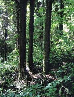 3本巣植えの一例。杉同士の間隔約1メートル、樹齢22年