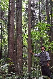 台風19号にも耐え、最も成長した「3本巣植え」の秋田杉=現在