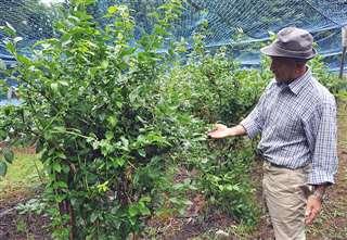 自宅近くの畑でブルーベリーを栽培=今年7月、秋田市下浜羽川