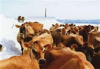 土田牧場でジャージー牛を放牧=平成21(2009)年冬