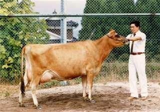 全日本共進会でチャンピオンに輝いたジャージー牛=昭和59年9月、岡山県