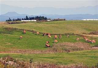 広い草地で悠々と草をはむジャージー牛=昨年10月下旬、土田牧場