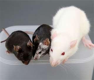 マウスの受精卵に、ラットのiPS細胞を入れて作った子どものマウス(中央)。右がラット、左がマウス(中内啓光東京大学特任教授提供)