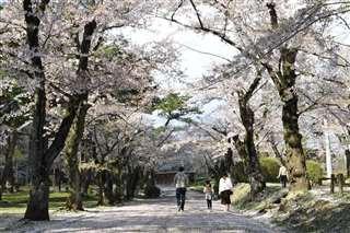 散った花びらがじゅうたんのように広がっていた千秋公園の本丸跡付近=秋田市、4月28日撮影