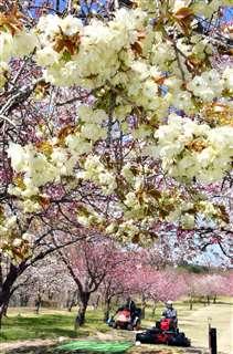 キザクラとヤエザクラが咲くパークゴルフコース=由利本荘市東由利、5月7日撮影