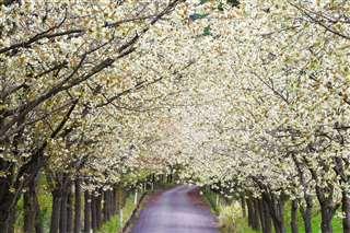 爽やかな黄色の花が見頃を迎えた黄桜=大仙市の大台スキー場、5月6日撮影