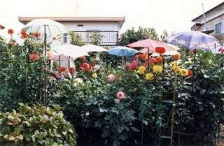 秋田市外旭川の自宅庭で育てたダリア。競技会前には傘で覆い、汚れを防いだ