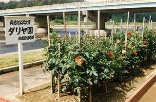 ダリア植栽を指導した「角館町公民大学」の花壇