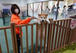 「秋田犬の里」にいる勝大。柵に乗り出しながら来場客に愛嬌を振りまいていた=8月1日午後2時33分ごろ