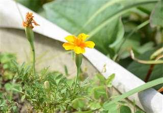 実家の鉢植えに咲く花。父と暮らし始めてから、秋江さんが植えた