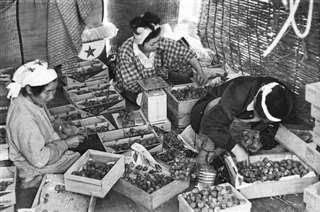 収穫したイチゴを選別する秋ノ宮の農家ら=1967年6月16日付の秋田魁新報朝刊より