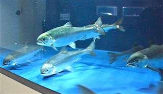 田沢湖クニマス未来館の水槽で泳ぐクニマス