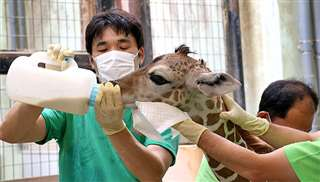 出生翌日、飼育員からミルクを与えられるケイタ(大森山動物園提供)