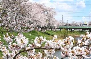淡いピンク色が川沿いに広がる太平川の桜並木