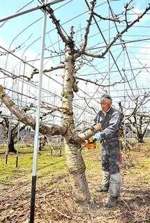 チェーンソーで枝を切り落とす藤山さん=7日、湯沢市上関