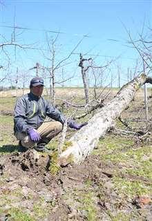 雪の重みで倒れた木を確認する粟津さん=11日、横手市杉沢